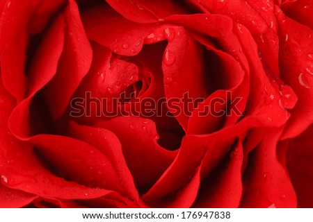 Macro shot of red vibrant rose petals with water droplets - stock photo