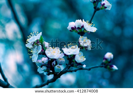 Macro shot of slightly blurred beautiful apricot flowers in the evening in dark blue tones (selective focus, shallow DOF) - stock photo