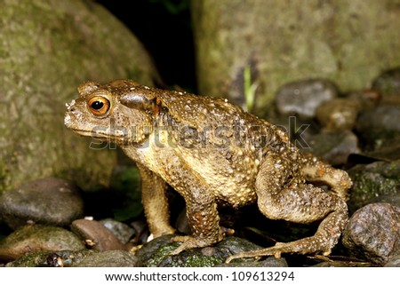 macro shot of Taiwan Common Toad in summer - stock photo