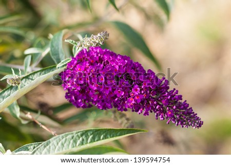 macro shot of the beautiful Buddleja flower with some green leaves - stock photo