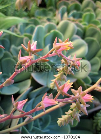 Macro shot pink flowers succulent plants stock photo edit now macro shot of the pink flowers of the succulent plants mightylinksfo