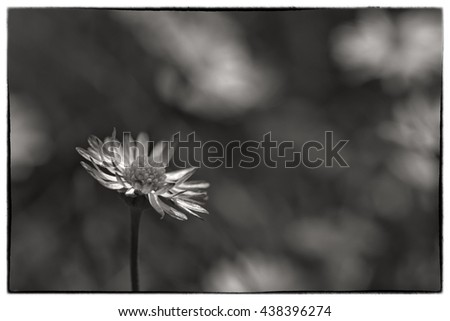 Macro shot of three white daisy flowers in a field of daisies. Black and white photo with a vintage border - stock photo