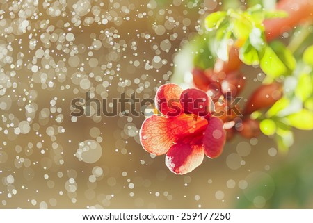 macro shot of trumpet vine flowers in dew on sunny morning - stock photo