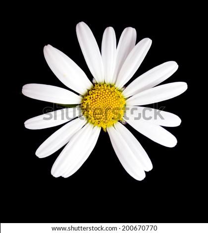 Macro shot of white daisy flower against black background - stock photo