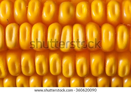 Macro shot of yellow corn kernels for agricultural background - stock photo
