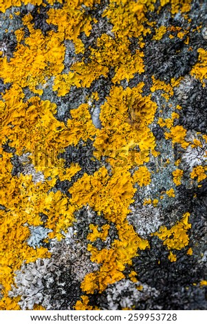 Macro shot of yellow lichen and moss on gray stone - stock photo