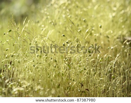 macro shot showing some moss sporangiums in sunny ambiance - stock photo