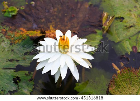 Macro shot with couple of bee flying and bees collecting pollen in deep of blooming white water lily at lotus pond in Thailand. Lotus flower in Asia is important Buddhism culture symbolic - stock photo
