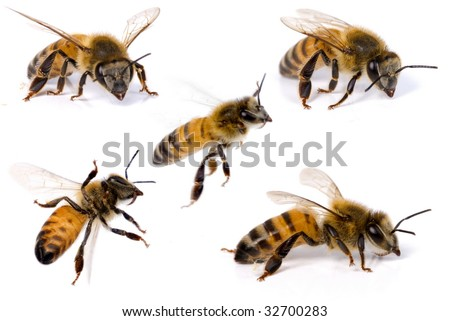 Macro Shots of a bee on white background . - stock photo