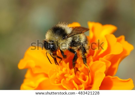 Macro side view of Caucasian bumble bee collecting pollen from a yellow flower tagetis