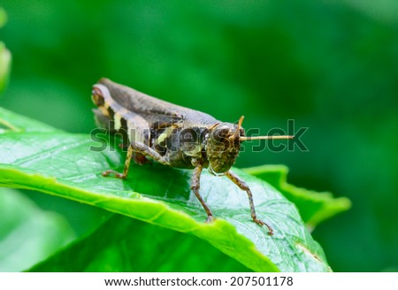 macro side view  of dark brown and yellow grasshopper standing on green leaf ; selective focus at eye with  blur background - stock photo