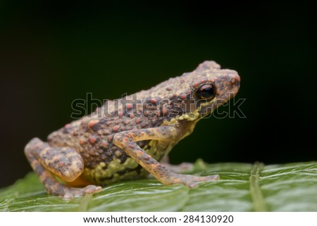 Macro side view shot of a tiny toad on green leaf - stock photo