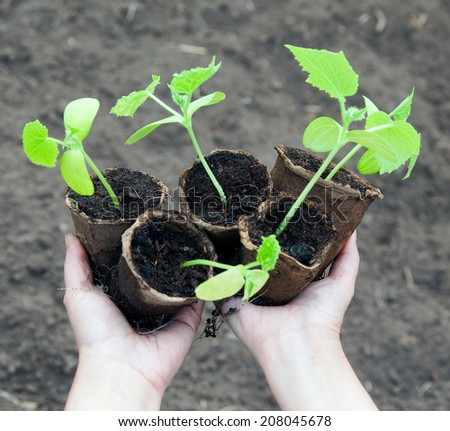 macro small green shoots of cucumber in peat pots in the hands of a spring garden