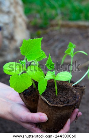 macro small green shoots of cucumber in peat pots in the hands of a spring garden - stock photo