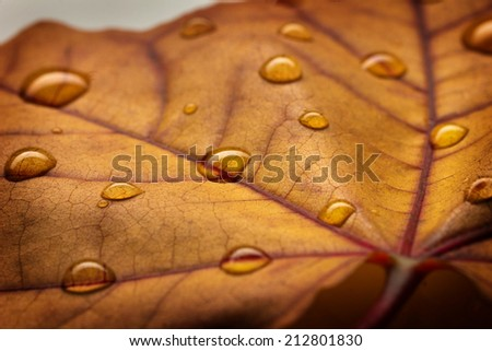 macro texture of brown maple leaf with water drop  - stock photo