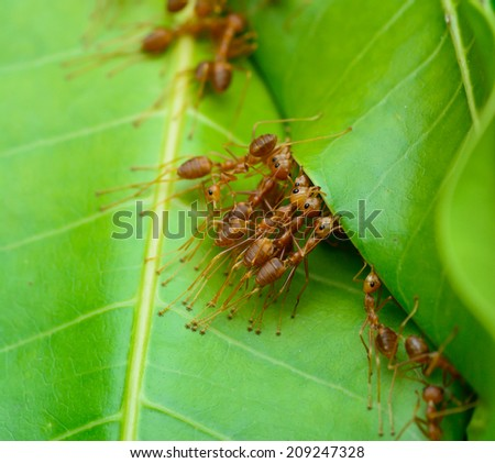 macro top view  of red ant army are  building nest by use leaf ; selective focus at  eye with blur background - stock photo
