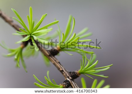 Macro view fir tree branch. evergreen leaves needles, gray background. shallow depth of field.