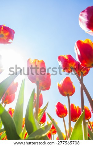 Macro view from below of beautiful orange tulips in sunshine on sky background during daytime in Netherlands, Europe