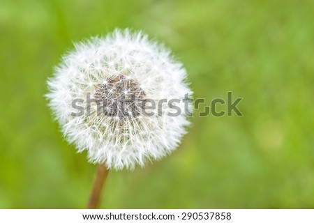 Macro view of a dandelion weed with green grass background, shallow DOF - stock photo