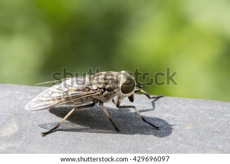 Macro view of a horsefly. These insects are found all over the world except for some islands and the polar regions.