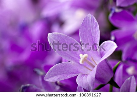 Macro view of a little Campanula flower