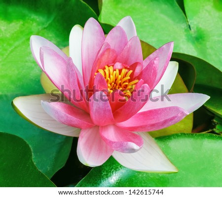 Macro view of beautiful one red water lily flower floating on water surface with green leaves - stock photo