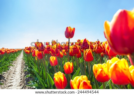Macro view of beautiful orange tulips in sunshine - stock photo