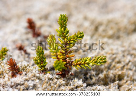 Macro view of Black Crowberry leaves. Iceland.