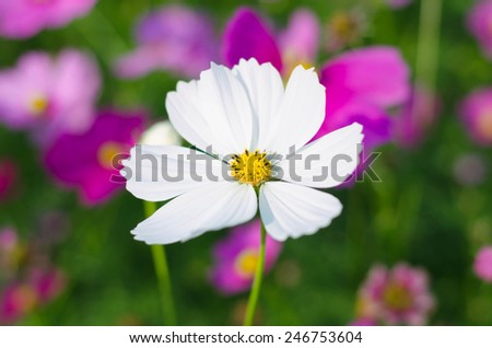macro view of colorful beautiful bloom flower Cosmos bipinnatus - stock photo