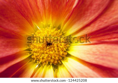 Macro view of daisy red petals - stock photo