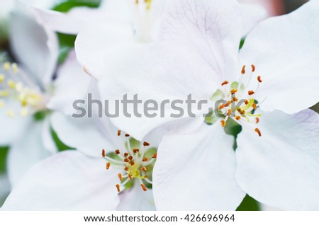 Macro view of several blooming apple flowers - stock photo