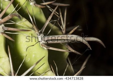 Macro view of the long spikes of a Ferocactus townsendianus succulent plant, a barrel shaped cactus - stock photo