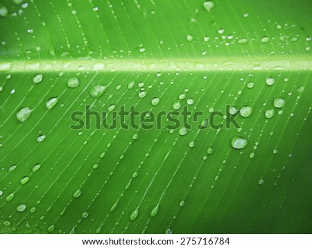 macro Water droplets on banana leaf - stock photo