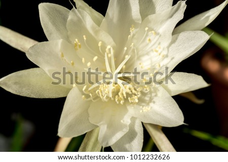 Macro white flower queen night epiphyllum stock photo royalty free macro white flower queen of night epiphyllum oxypetalum nocturnal very fragrant flower blooms at night mightylinksfo