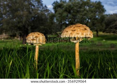 Macrolepiota procera. Edible excellent, being a very popular mushroom. - stock photo