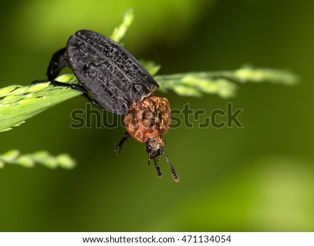 Macrophotography of an insect (Oiceoptoma thoracica)