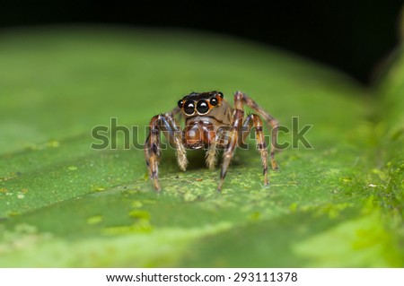 Macrophotography of tiny jumping spiders at 1:1 magnification takes great skills, as they are sensitive to vibration around them / Jumping spiders / They are proficient hunters and kept pest at bay - stock photo