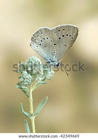 Maculinea telejus (underside) - stock photo