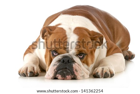 mad dog - english bulldog laying down with sour expression isolated on white background - stock photo