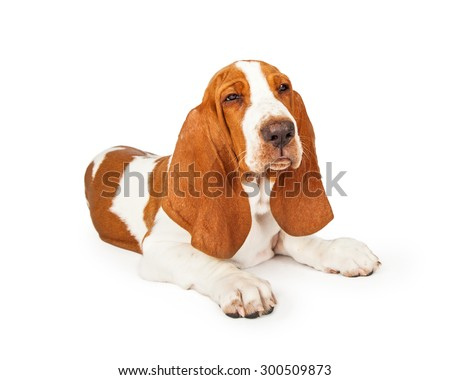 Mad looking young Basset Hound Dog with squinting eyes laying at an angle.