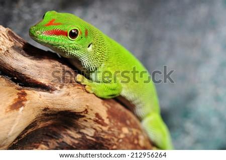 Madagascar day gecko in the terrarium - stock photo