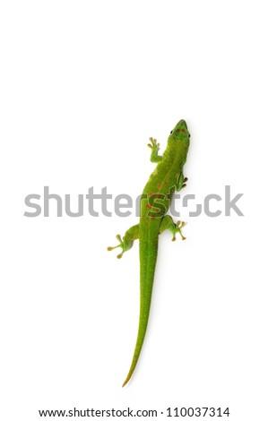 Madagascar Day Gecko on white background. - stock photo