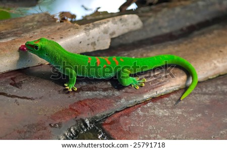 Madagascar giant day gecko - stock photo