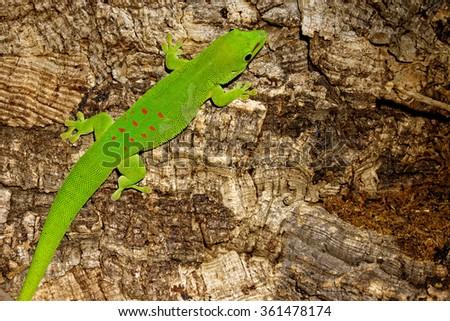 Madagascar giant day gecko (Phelsuma grandis) - stock photo