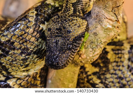 Madagascar Ground Boa (Boa madagascariensis) - stock photo