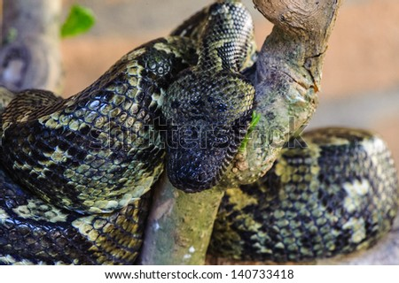 Madagascar Ground Boa (Boa madagascariensis), a species of the Boidae (boa) family that is endemic to the island of Madagascar. - stock photo