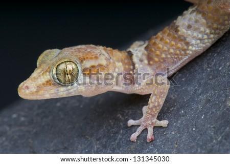 Madagascar ground gecko / Paroedura bastardi - stock photo