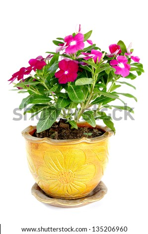 Madagascar periwinkle Flowers in pot - stock photo