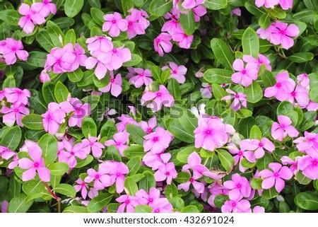 Madagascar periwinkle or Catharanthus roseus or Vinca flower - stock photo