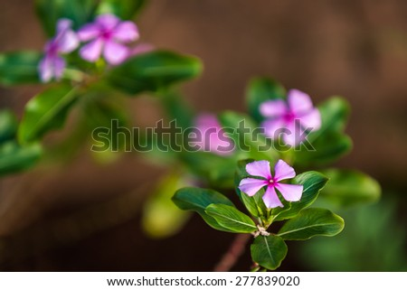 Madagascar periwinkle (Pervenche de Madagascar, Catharanthus roseus). The active ingredients of the plant extracts are antimitotic, to produce medicine against cancer. - stock photo
